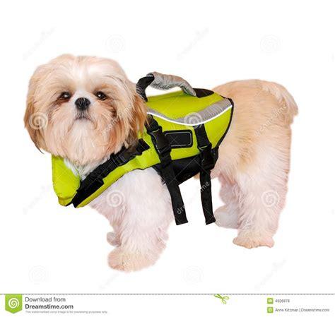shih tzu jackets shih tzu puppy in a jacket royalty free stock photos image 4926878