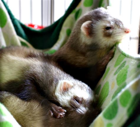 ferret bed tips for keeping pets safe from common indoor hazards