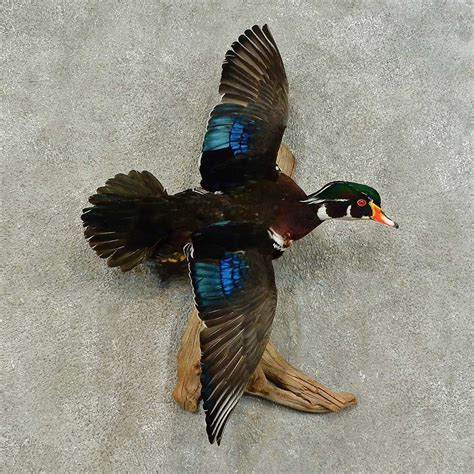 flying boat mount wood duck bird mount for sale 16285 the taxidermy store