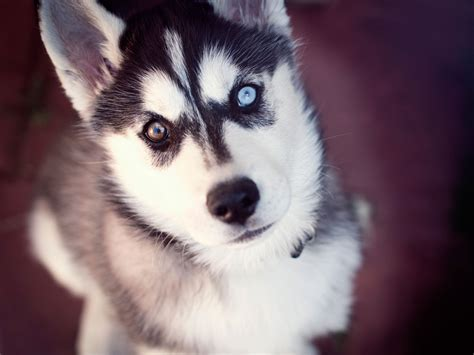 puppy eye color husky puppies with different colored hd