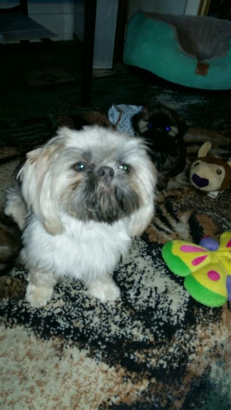 solid blue shih tzu 17 best images about reillys reg d shih tzus on new babies baby and