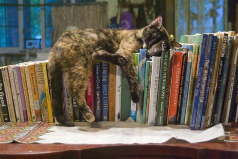Best Bookshelves For Home Library by The World S Most Famous Library Cat