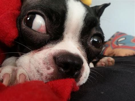 Funny Salt And Pepper Shakers Ellie The Boston Terrier Doing This With Her Eye