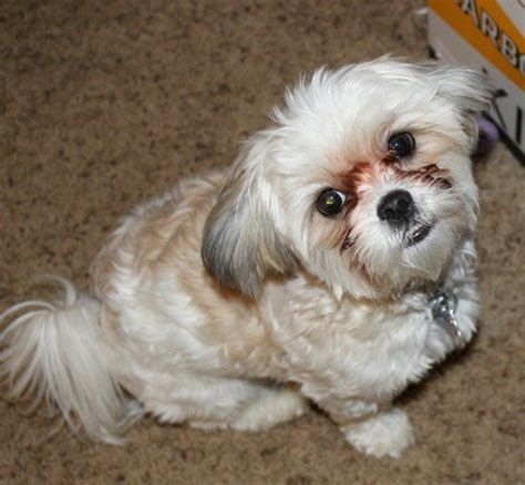 size of shih tzu maltese shih tzu malshi best pethelpful