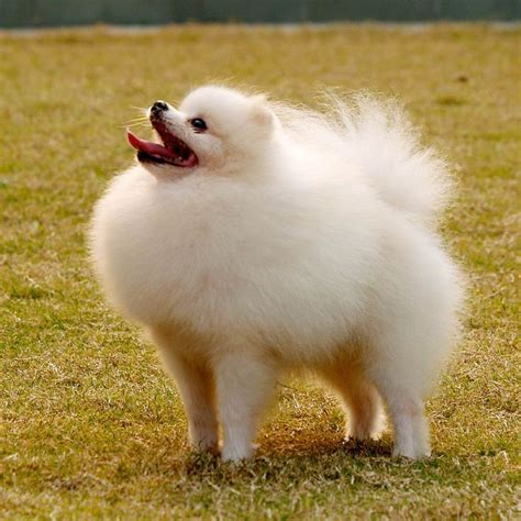 pomeranian allergy 17 best images about pomeranian dogs on cutest dogs puppys and pomeranian