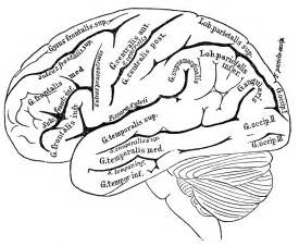 brain color free coloring pages of human anatomy labeling