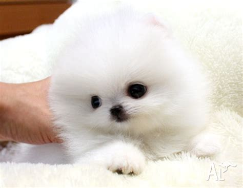 teacup pomeranian breeders australia tiny teacup akc pomeranian puppies for adoption for sale in dunlop