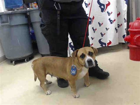 houston pound this id a466856 urgent harris county animal shelter in houston