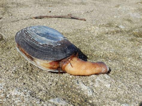 Mutiara Kerang Air Laut jenis jenis kerang dan gambarnya paling lengkap nama