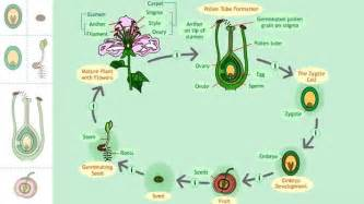 The Life Of A Flower - life cycle of a seed plant science interactive pbs
