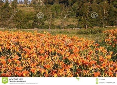orange tiger lilies stock photo image 42758849