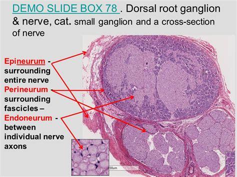 cross section of nerve medical school histology basics peripheral nerve ppt