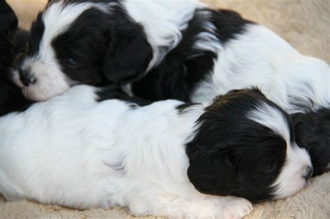 pugs for sale illawarra cavoodle puppies males and females for sale nsw richmond
