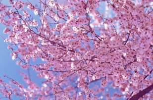 beautiful pink cherry blossom wallpaper colors photo