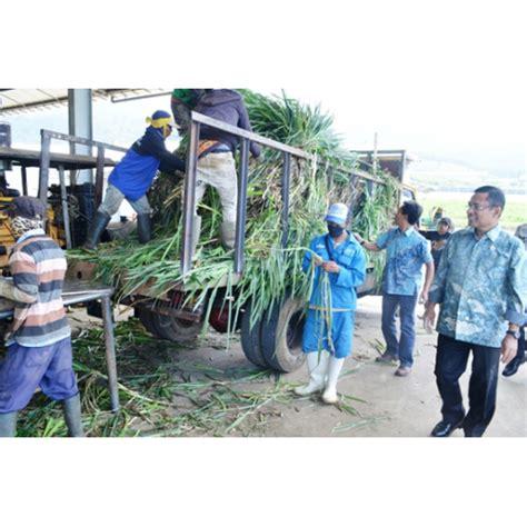 Bibit Coklat Per Batang jual bibit rumput gajah odot