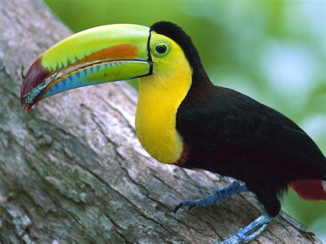 kell billed toucan panama wallpapers hd wallpapers id