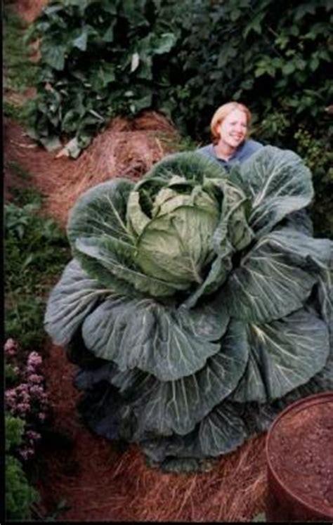 giant vegetables alaska state records bountea compost tea