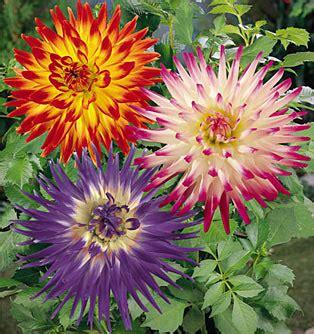 Kaos Cactus flower of the month dahlia kaos