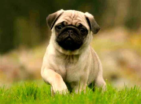 perros pug todo sobre la raza de perro pug comportamiento cuidados or 237 genes