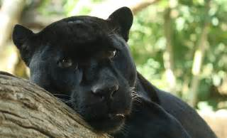 Is A Panther A Jaguar Living Alongside Wildlife So You Say You Saw A Black