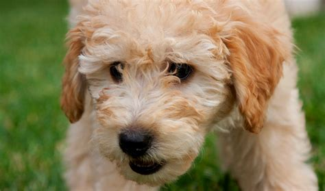 miniature goldendoodle lifespan poodle health information dogs in our photo