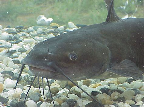 Barbel Tangan Catfish