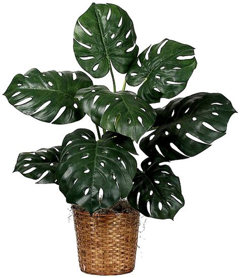 Best Indoor Plants For Oxygen by Monstera Deliciosa Paradise Enow