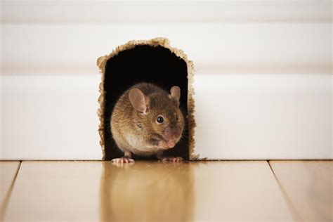 mouse in the house 4 destructive things a rat or mouse will do in a house