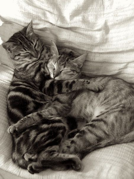cuddle in bed bed cat cats cuddle cats pinterest