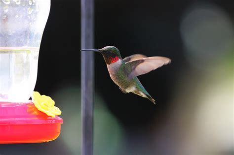 how to attract hummingbirds at home farm and dairy