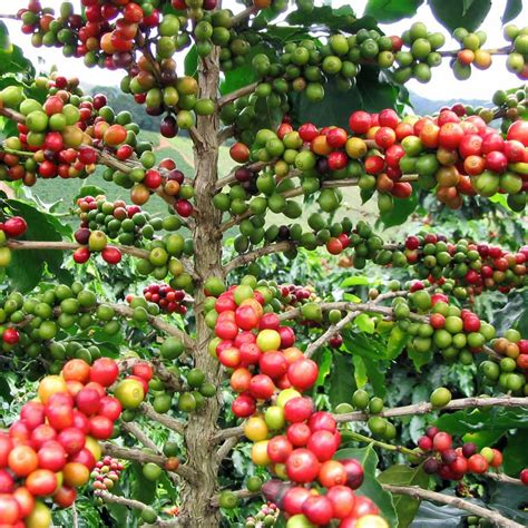 Cool Ideas by Australian Seed Coffea Arabica