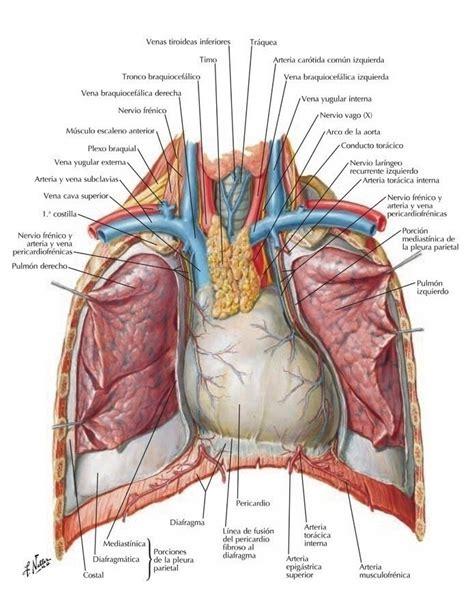 anatomia interna corpo umano anatom 237 a cardiomed