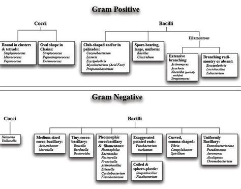 gram diagram gram negative gram positive bacteria list search