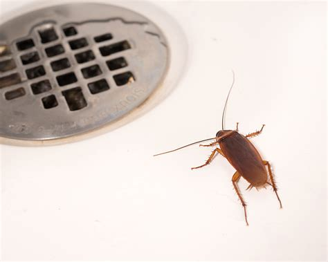 i saw a cockroach in my bathroom i saw a cockroach in my bathroom american cockroach roach