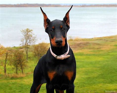 his name was my with a remarkable doberman pinscher books dobermann articles 2puppies
