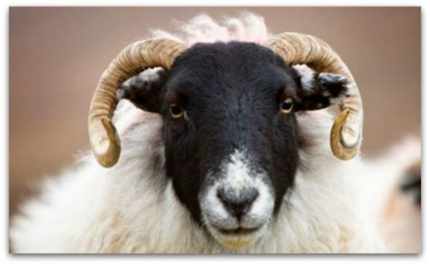 black faced sheep home decor