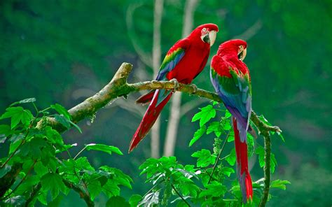 Bird Couple Wallpaper Hd | a beautiful couple of lorikeet birds wallpaper hd