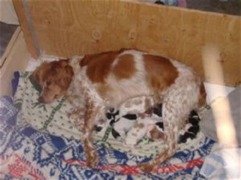 puppies in nebraska spaniel puppies in nebraska