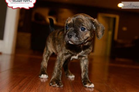 boxer puppies for sale in md the gallery for gt miniature boxer puppies