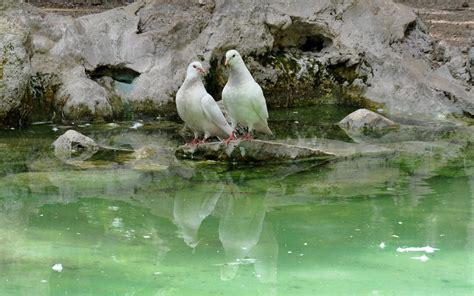 pigeons drinking water lake rock birds hd wallpaper