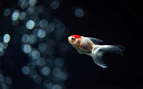 wallpaper goldfish goldfish full hd wallpaper and background image