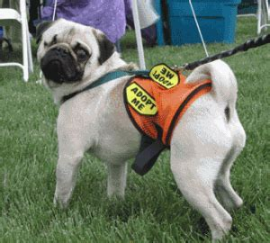 looking for a pug to adopt help the pugs colorado pug rescue