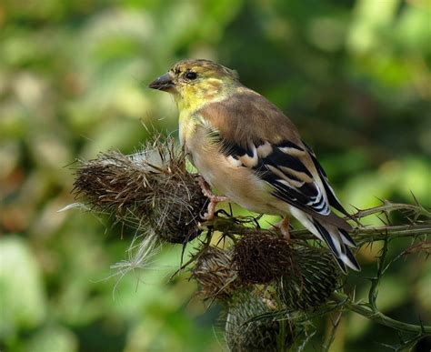 washington willow goldfinch this is my country pinterest