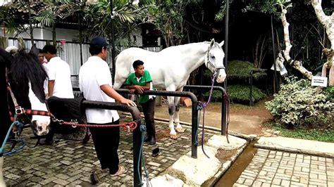 Kuda Pony Putih L melihat kuda poni kuda raksasa kuda mandi kuda putih di kandang kuda
