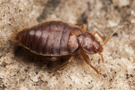 bed bug types second bed bug species reemerges in florida