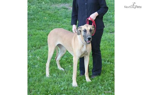 great dane puppies nj great dane for sale for 1 250 near tiers ny pa new york ebb5c1d7 99c1