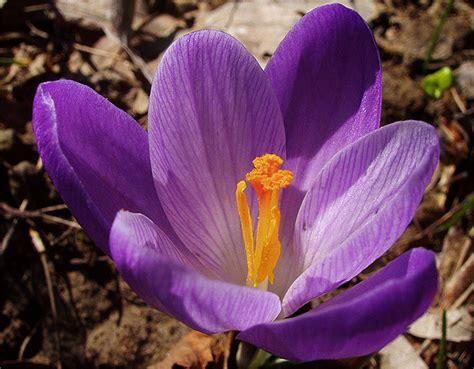 fiore zafferano il fiore di zafferano fra usi e propriet 224 il trifoglio