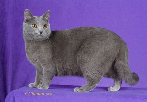 The Blue Breeds: The Chartreux, The Korat & The Russian Blue