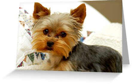 yorkies in houston quot yorkie in bed quot greeting cards postcards by houston redbubble