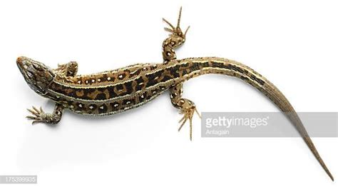 lizard images lizard stock photos and pictures getty images